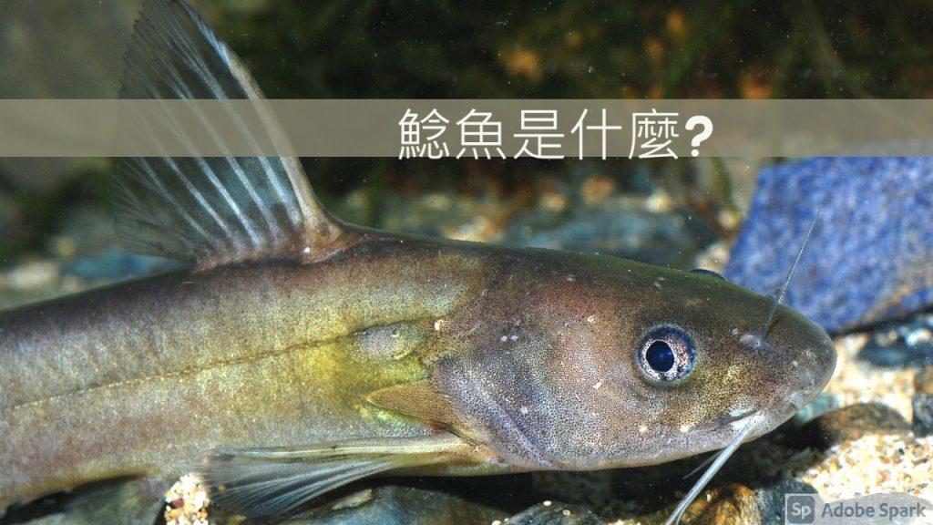 鯰魚是什麼
